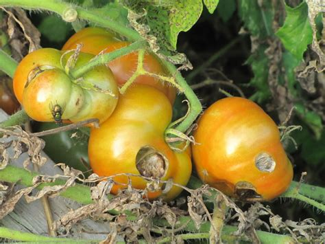 Diseases And Disorders Tomato Diseases And Disorders