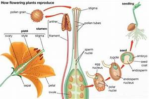 The stages of fertilization process in the plants ...