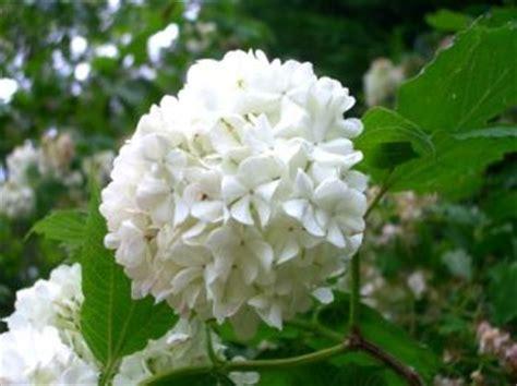 arbusti dai fiori rosei viburnum arbusti di facile coltivazione consigli per il