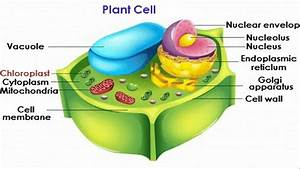 Chloroplast In The Plant Cell