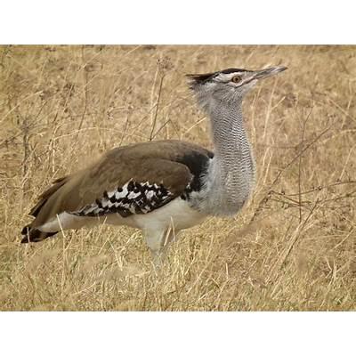 File:Kori bustard Ardeotis kori in Tanzania 4234 Nevit.jpg