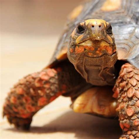 tartarughe alimentazione alimentazione delle tartarughe di terra cibi vietati