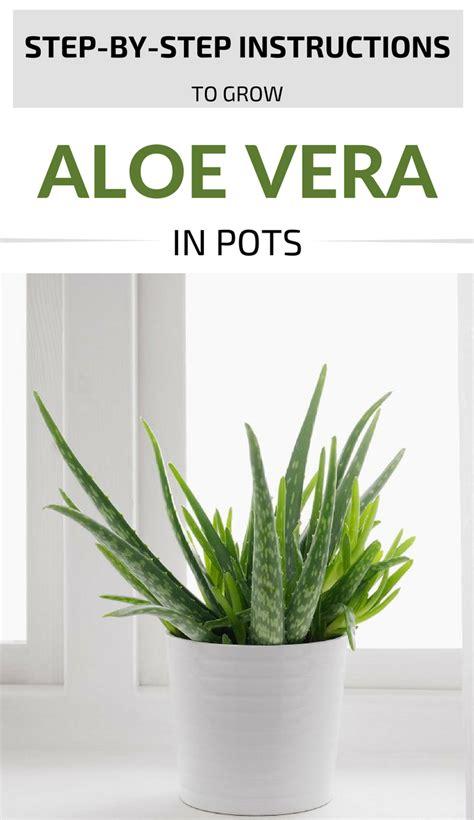step  step instructions  grow aloe vera  pots