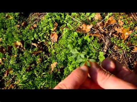 cuisiner les plantes sauvages bushcraft les plantes sauvages comestibles survie