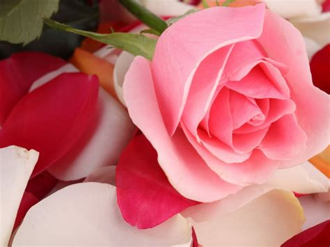 wallpaper pink rose rose petals hd flowers
