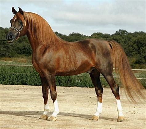 arabian horse spanish pure horses stallion stallions egyptian timur siscar bosc del