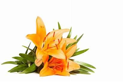 Lily Flower Lilies Stargazer Flowers Meaning Orange