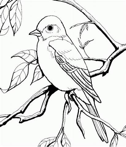 Coloring Pages Orioles Baltimore Bird Popular