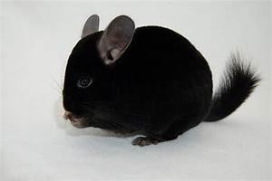 Black Chinchilla Baby