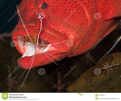 grouper shrimp