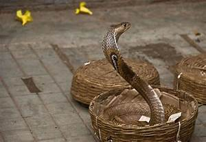 How To Move Up In A Company Snake In A Basket Snake Charmers Keep Their Snakes In