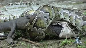 Green Anaconda Eating Alligator | www.imgkid.com - The ...