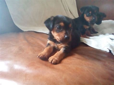 chihuahua cross yorkshire terrier puppies  sale