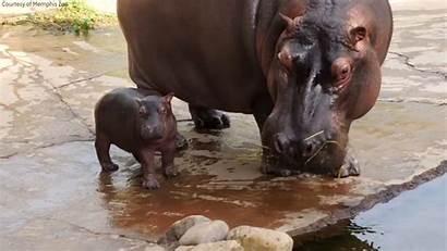 Hippo Zoo Memphis Adorable