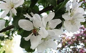 Apfelbaum Für Balkon : bienenfreundliche pflanzen die besten ideen f r garten ~ Michelbontemps.com Haus und Dekorationen
