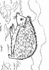 Hedgehog Coloring Pages Animal Animals Sheets Results sketch template