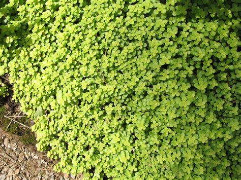 sedum ground cover online plant guide sedum makinoi ogon golden japanese sedum