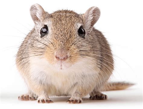 List Of Rodents That Make Good Pets