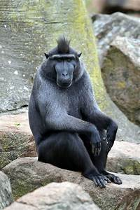 Celebes crested macaque - Wikipedia  Black