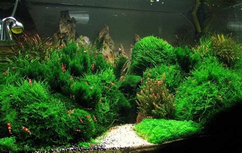 Aquascape Shrimp Tank by One Of Best Shrimp Tanks I Ve Seen Mosses Mosses