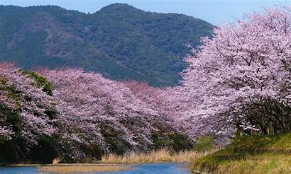 Sakura Wallpapers Blossoms Japan Flower