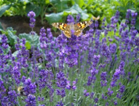 wann schneidet lavendel wann schneidet lavendel granitplatte terrasse