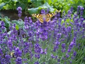 Lavendel Wann Schneiden : lavendel schneiden wann und wie tipps f r deinen garten ~ One.caynefoto.club Haus und Dekorationen