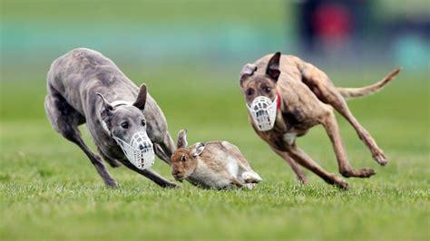 rabbit flash  white tail    chased