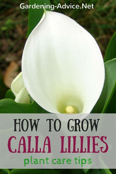 how to grow calla lillies 1000 ideas about calla lillies on pinterest calla lilies black calla lily and calla lillies