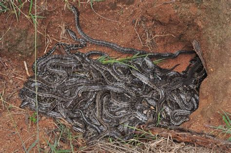 insights   southern african pythons