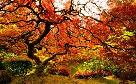 picture of the day japanese maple at the portland