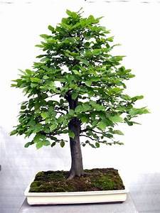 G65 bonsai hainbuche carpinus betulus sehr al for Garten planen mit bonsai acer
