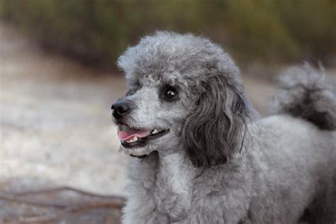 stock photo  caniche poodle toy poodle