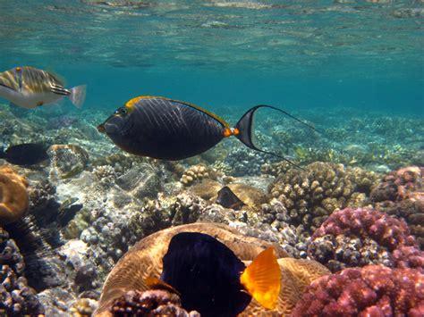 underwater egypt unicorn yellowtail tang