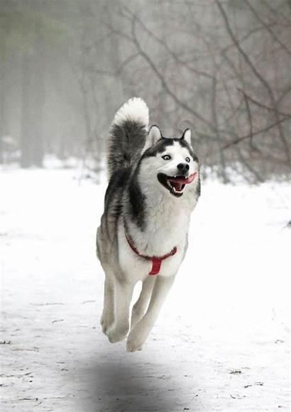 Moon Dogs Husky Animals Happy Dog Making