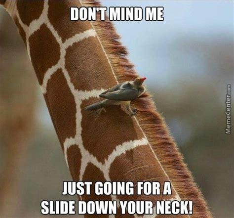 Meme Giraffe - funny giraffe meme just going for a slide down your neck picture for whatsapp