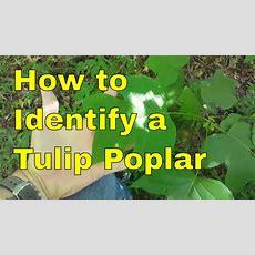 How To Identify A Tulip Poplar Tree Youtube