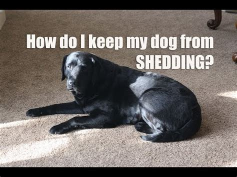 how to stop shedding how to reduce shedding on coated dogs funnydog tv
