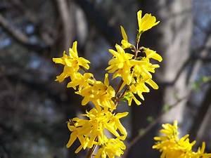 Busch Mit Gelben Blüten : zierstr ucher der zierstrauch ~ Frokenaadalensverden.com Haus und Dekorationen