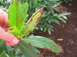 Rhododendron Braune Blätter : kirschlorbeer gelbe bl tter beim kirschlorbeer gelbe bl ~ Lizthompson.info Haus und Dekorationen