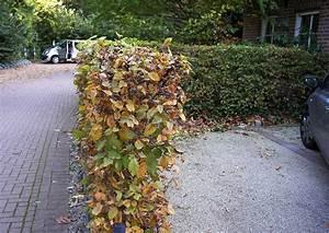 Hecke Schneiden Zeitraum : carpinus betulus wei bche hainbuche schmale hecken ~ A.2002-acura-tl-radio.info Haus und Dekorationen