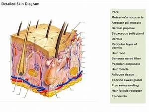 Integumentary System Diagram To Label Lovely Human Skin Diagram Without Labels In 2020