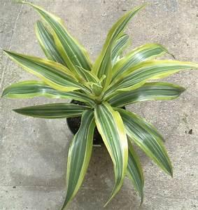 Zimmerpflanze Lange Grüne Blätter : die besten zimmerpflanzen ~ Markanthonyermac.com Haus und Dekorationen