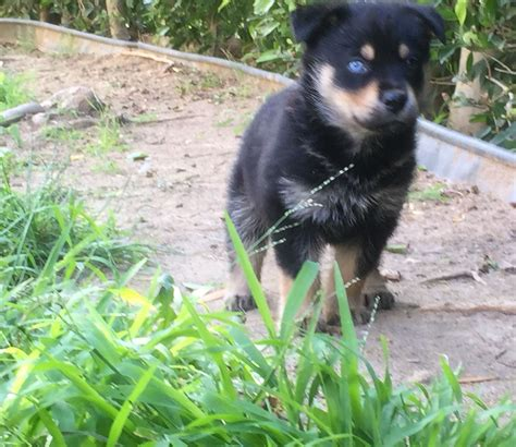 my new rottweiler husky mix rottsky dogs