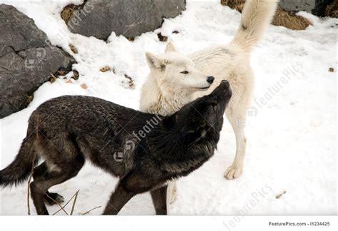 wildlife animals timber wolves stock image
