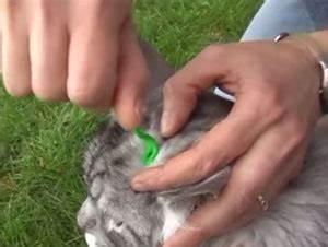 Bicarbonate Contre Les Puces De Chat : les tiques du chat comment les rep rer et comment les d truites ~ Melissatoandfro.com Idées de Décoration