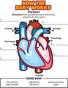 Activity  The Heart