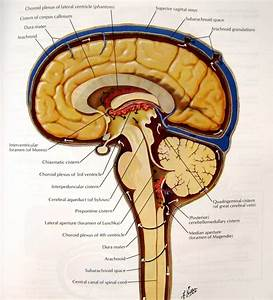 What Is The Difference Between Meninges Of Brain And
