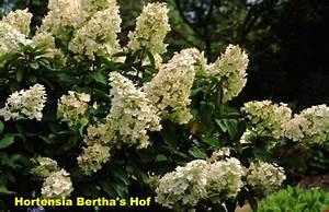 Hydrangea Paniculata Schneiden : hydrangea paniculata 39 unique 39 ~ Lizthompson.info Haus und Dekorationen