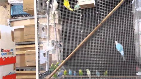 riproduzione cocorite in gabbia voliera per cocorite
